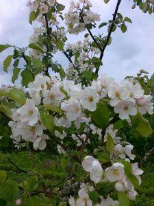 Omenapuiden kukintaa