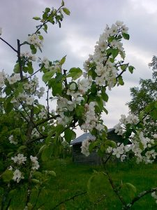 Omenapuut yllättivät kukkaloistollaan.